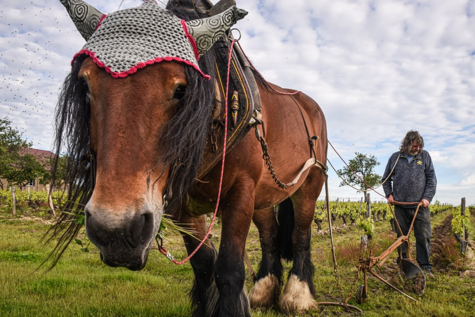 Draught wines: French vineyards rediscover the power of horses